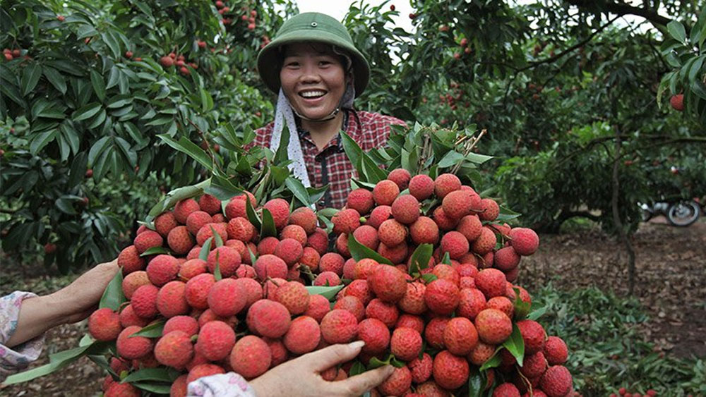 Lychee- the royal tropical fruit that you should try when visitting VIET NAM
